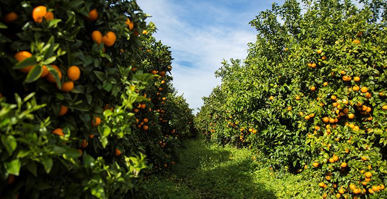 Vuelve la mandarina Orri a los lineales de fruta