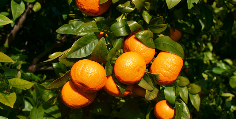 La mandarina Orri se sitúa por quinto año consecutivo como la mandarina más cotizada del mercado