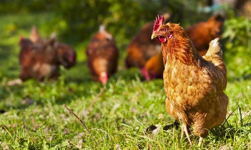 nestle-gallinas-libertad