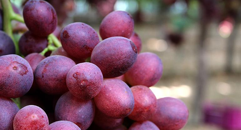 carlitar-uva-uvasdoce