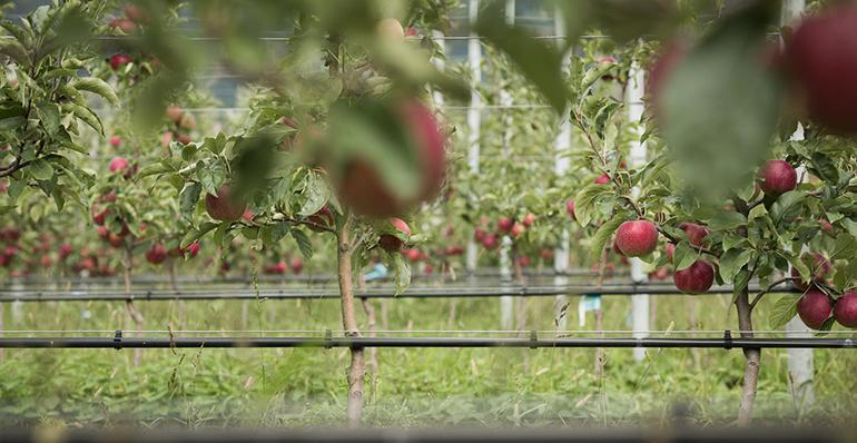 VOG, temporada comercial positiva y disponibilidad de manzanas bio todo el año