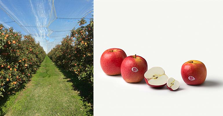 manzana-pink-lady-fruterias-cosecha-lleida-girona