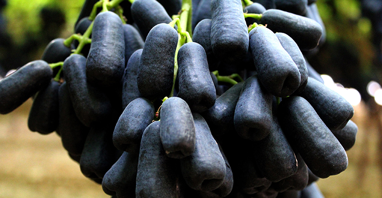 sweet-shaphire-uvasdoce