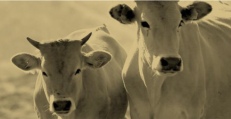 vacum-vacas-felices