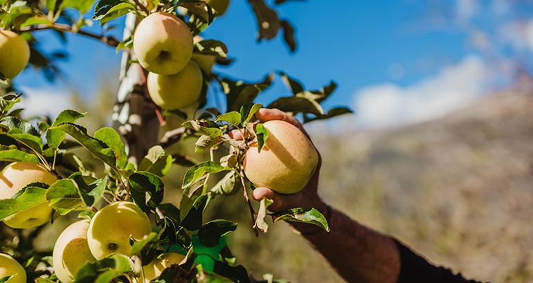 vip-val-venosta-manzanas-italia-recogida